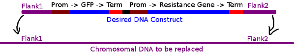 A diagram showing the format of the desired DNA